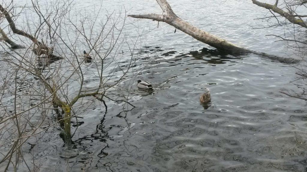 Aktive Enten erfreuen sich der wieder etwas helleren Tage.