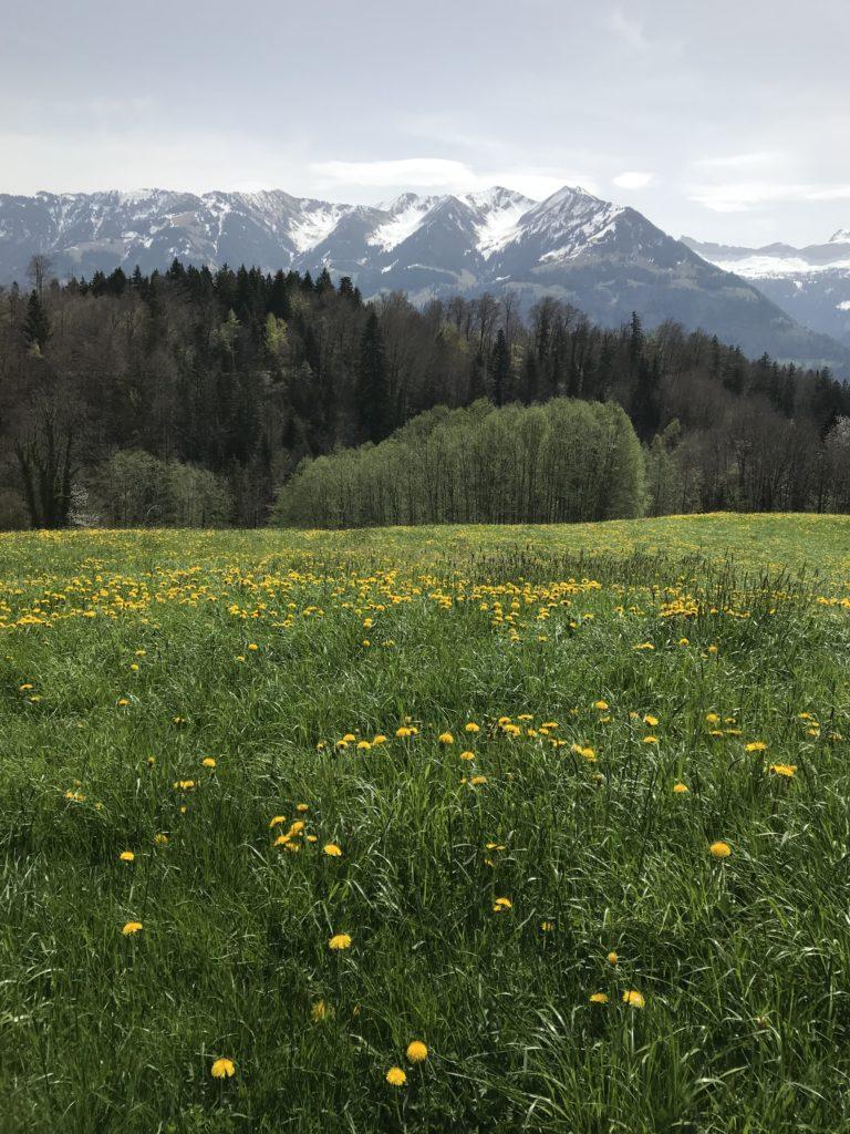 Löwenzahnwiese mit Blick in die Alpen