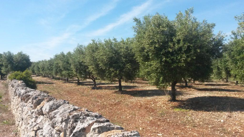 Blühende Olivenhaine auf dem Weg ins Valle d'Itria