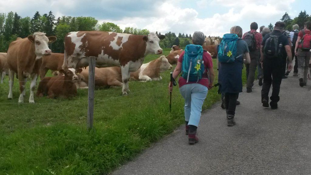 Nachmittagstreff mit Aargauer Kühen