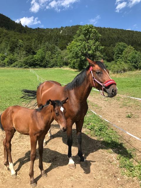 Muttertier mit Fohlen auf der Pferdeweide