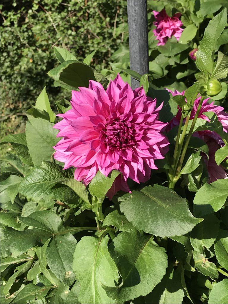 Blickfang - Dahlie in vollster Blütenpracht
