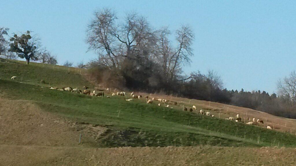 Schafherde beim Breitfeld in der Region Abtwil - 28.03.2020