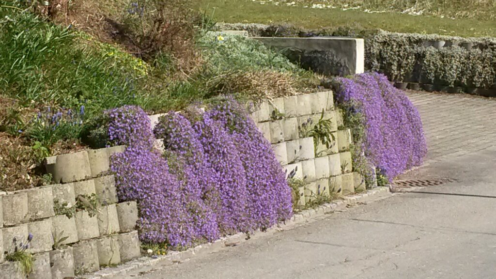 Blumenkissen an einer Gartenmauer - 31.03.2020