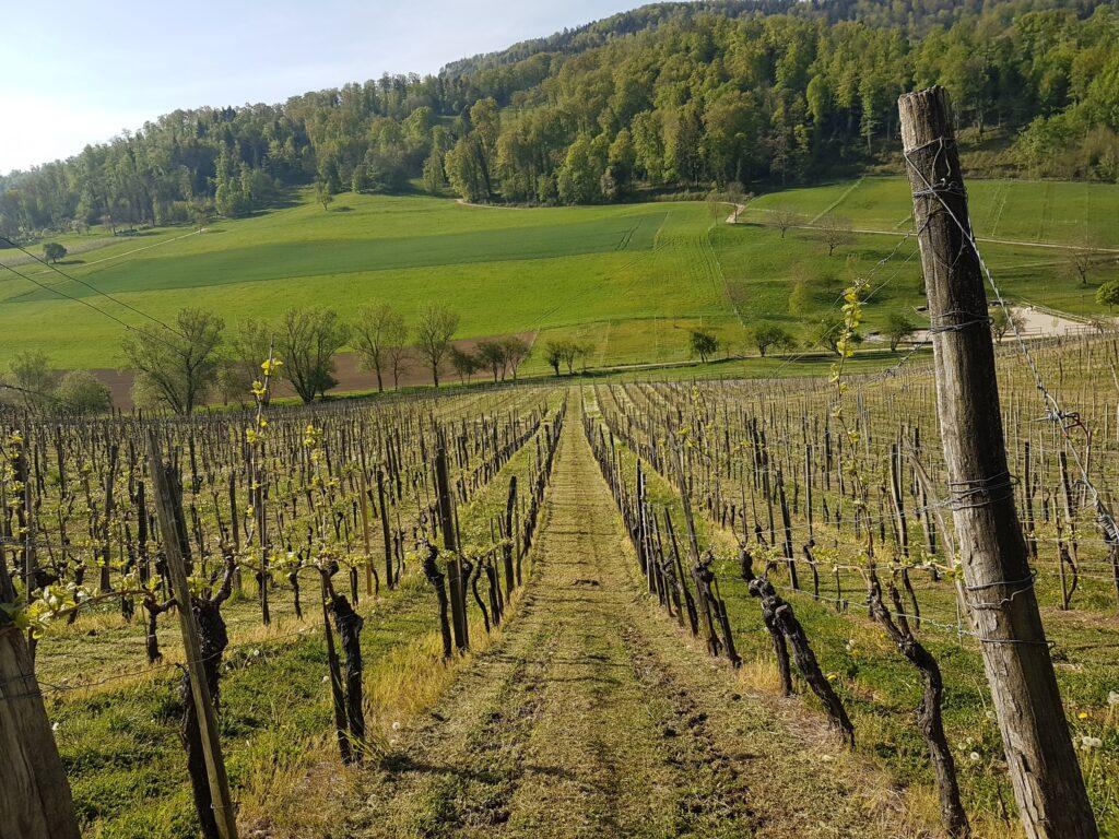 Das grösste Rebenanbaugebiet des Kantons Baselland ist jenes der Gemeinde Aesch. - 19.04.2020