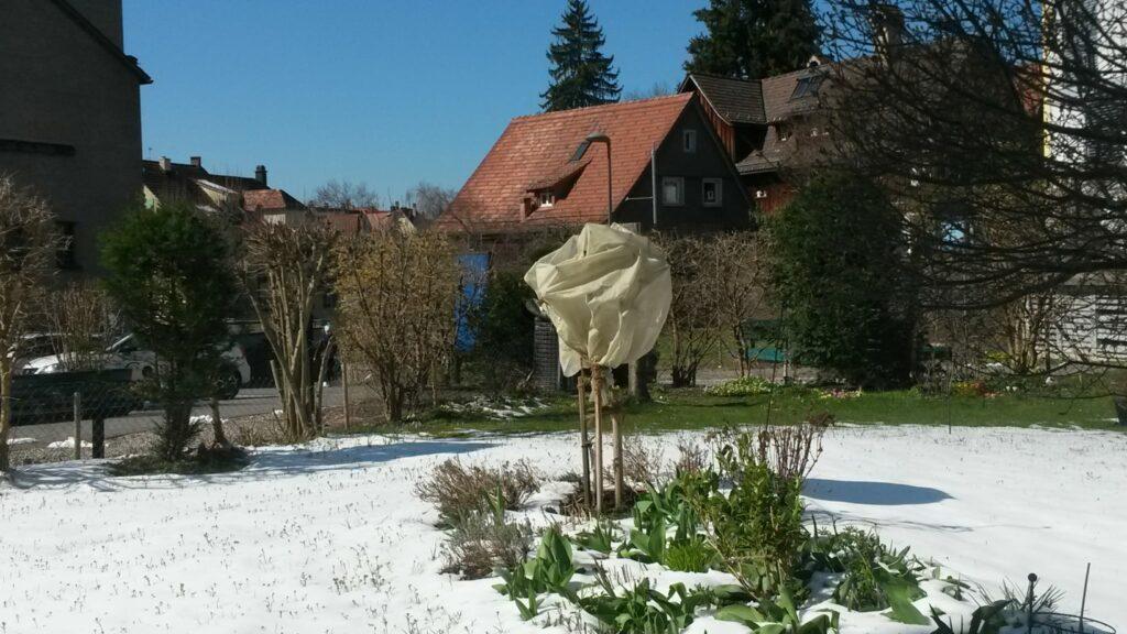 St. Gallen: eingepackte Pflanze im Quartier St. Georgen zum Schutz vor der eisigen nächtlichen Kälte - 01.04.2020