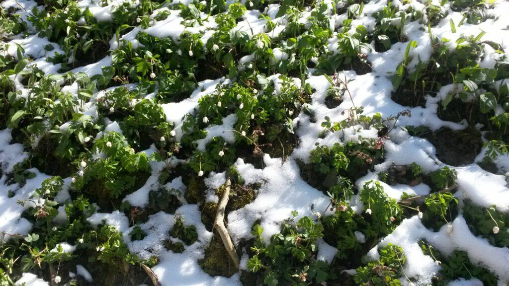 St. Gallen: Die Frühlings-Schneeglöckchen in St. Georgen freuen sich über den Winterrückzug - 01.04.2020