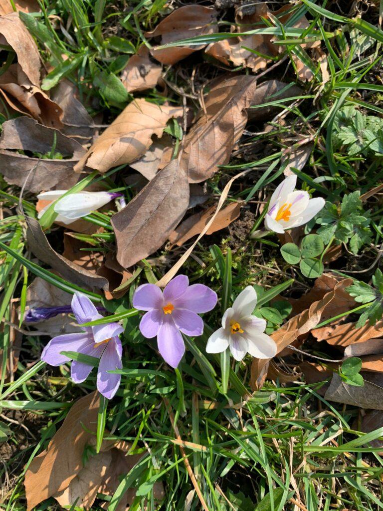Trimmis - weisser und violetter Krokus