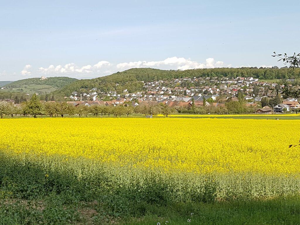 goldgelbes Löwenzahnfeld, im Hintergrund Hofstetten-Flüh - 19.04.2020
