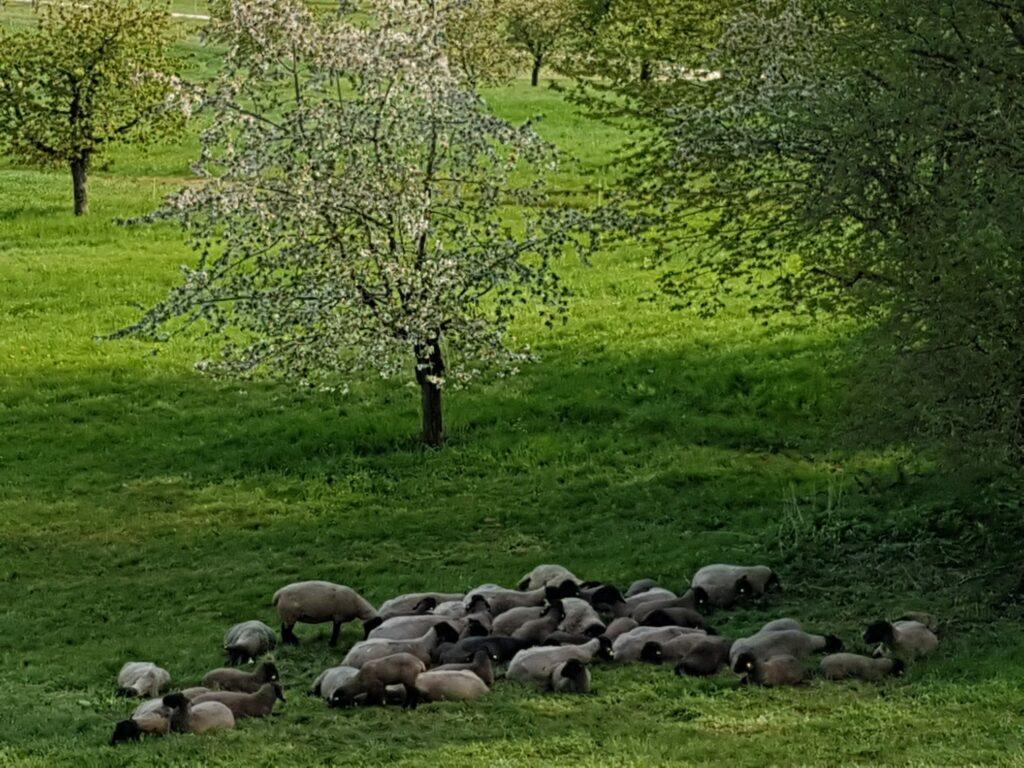 Schwarzkopf-Schafherde im Schatten in der Region Hofstetten-Flüh - 19.04.2020