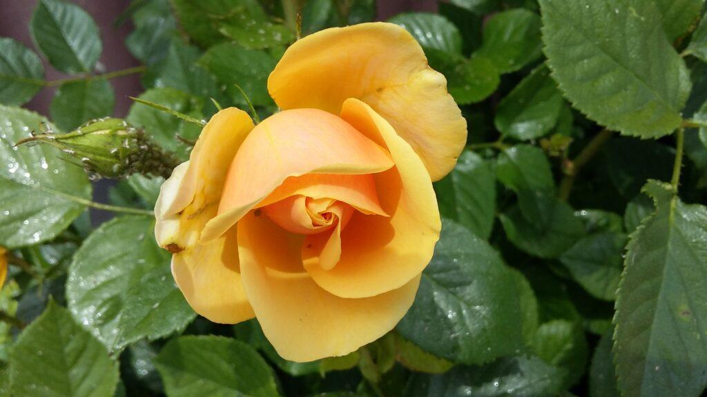 1. Mai-Rose