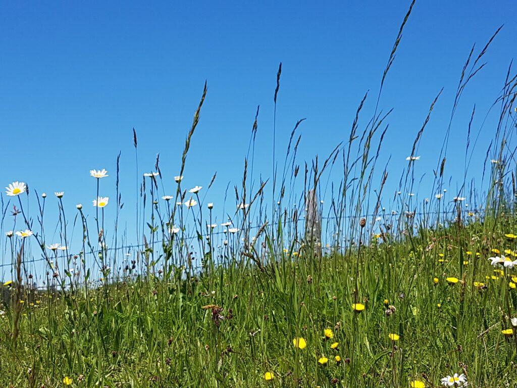 Blumenwiese auf dem Rämisgummenhoger, Erika - 21.05.2020