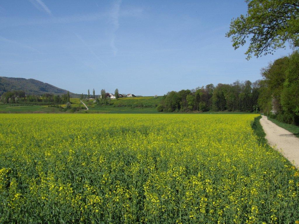 gelb leuchtender Raps in der Umgebung Reinach, BL - April 2020
