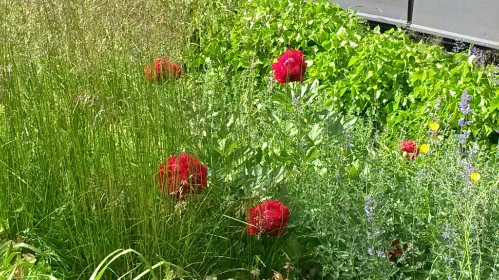 Pfingstrosen im Garten der Helvetia Versicherung, St. Gallen, Regina - 30.05.2020