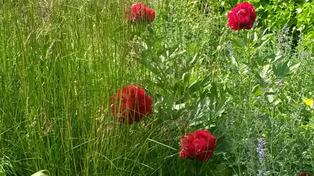 leuchtend rote Pfingstrosen im Garten der Helvetia Versicherung, Regina - 30.05.2020