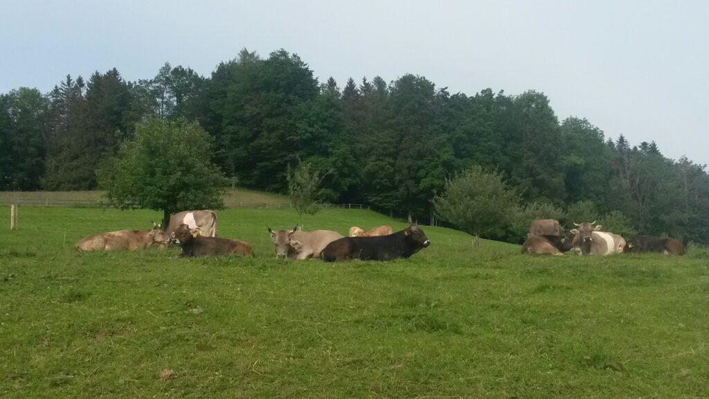Kühe in der Ruhepause auf dem Aetschberg, Regina - 31.05.2020