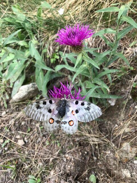 Schmetterling und Bergblume