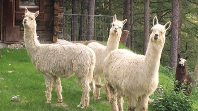 fotogene Lamas