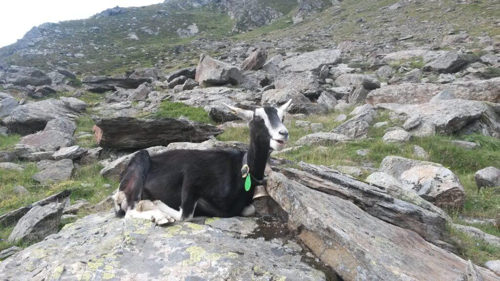 Die Bergziege macht gemütlich Siesta.