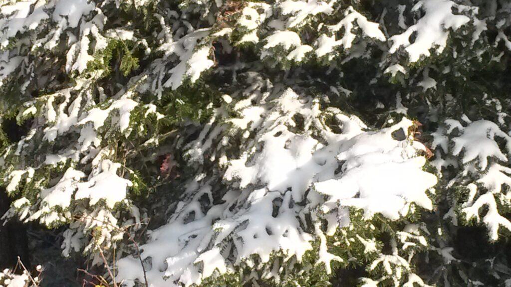 Schneelast auf Tannenzweigen - 03.12.2020