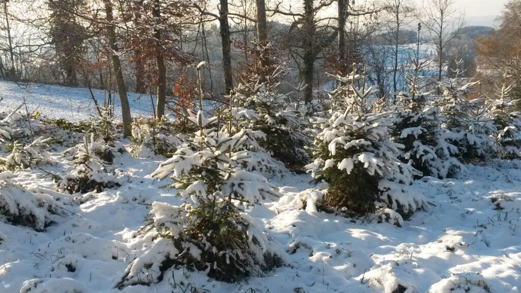 verschneite Tännlein - 03.12.2020