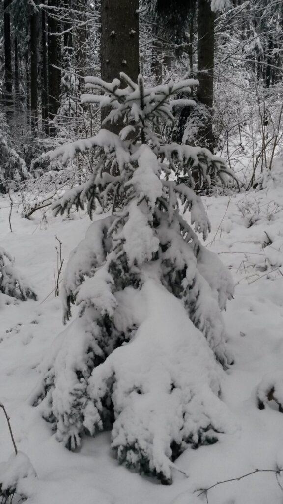 ein Tännlein steht im Walde..... - 10.12.2020