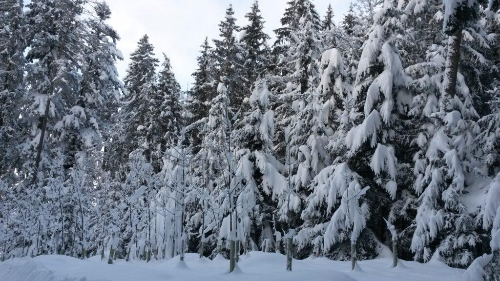 Kabinett der verschneiten Tannen - 16.01.2021