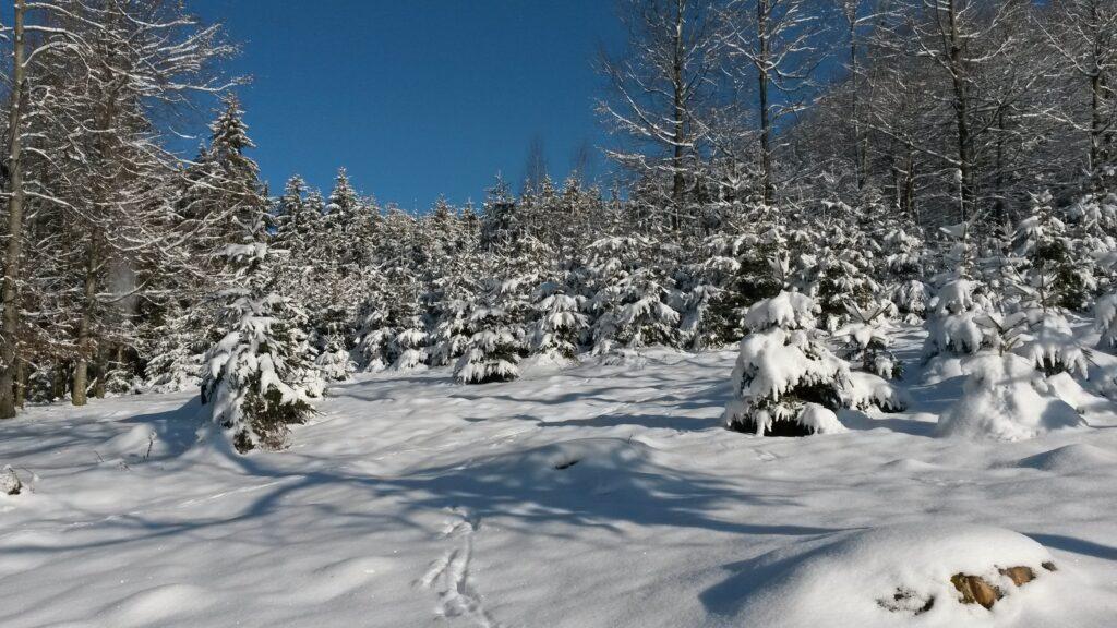 inmitten der verschneiten Tännlein - 13.02.2021