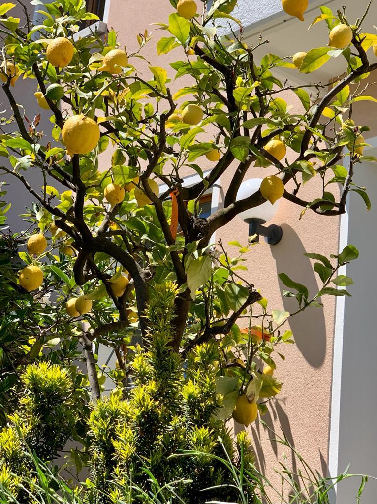 Zitronenbaum - 20.05.2021