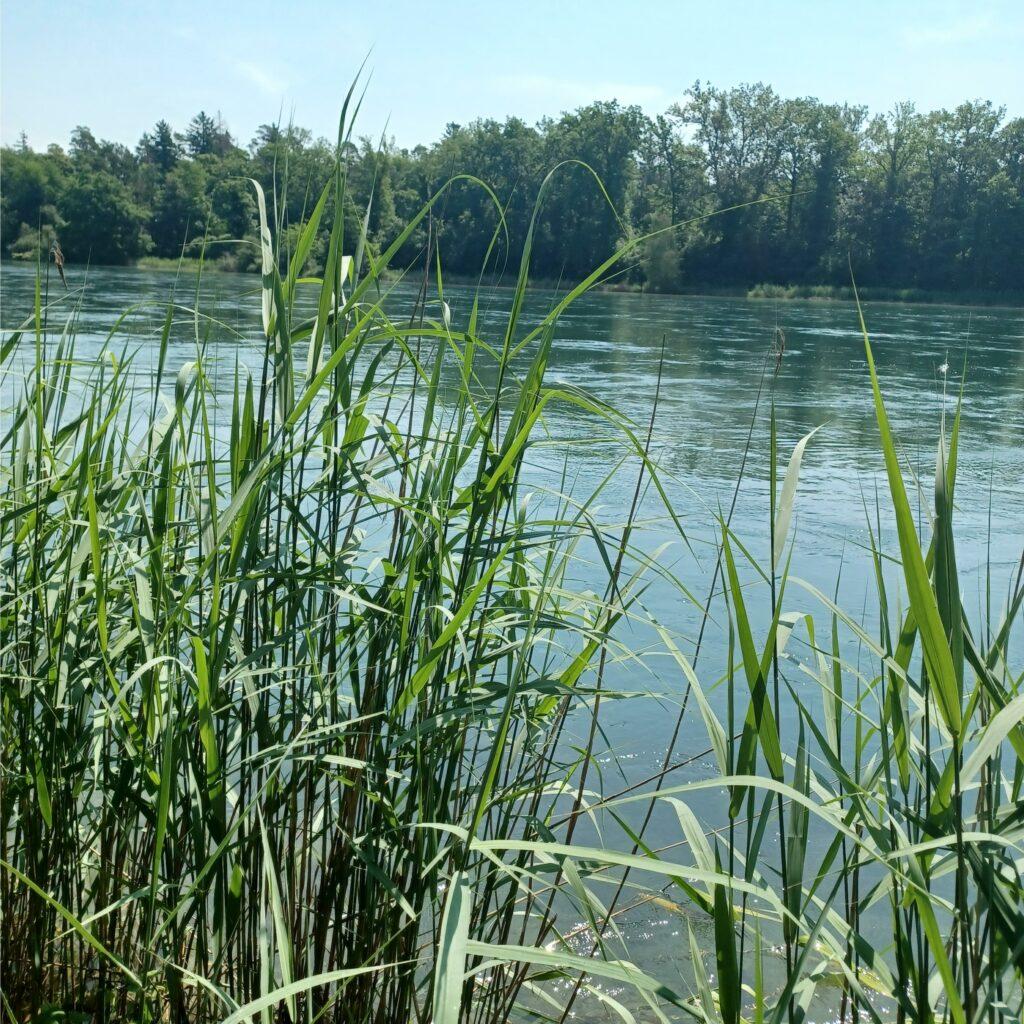 Schilfgürtel im Naturschutzgebiet - 12.06.2021