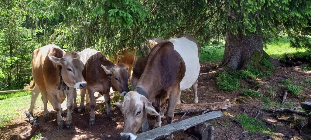 glückliche Kühe, 27.06.2021