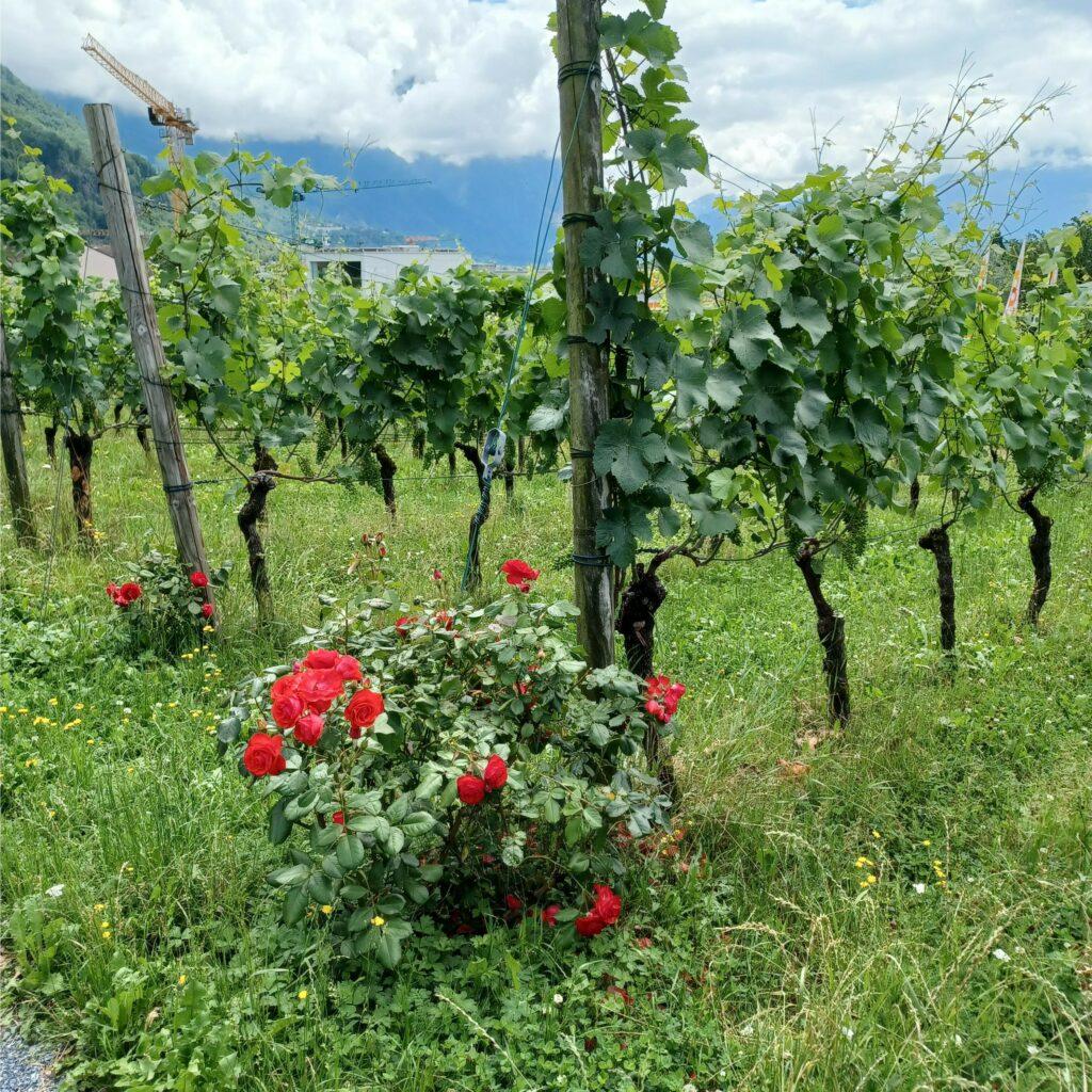rote Rosen am Rebstock zur Früherkennung von Schädlingen - 09.07.2021