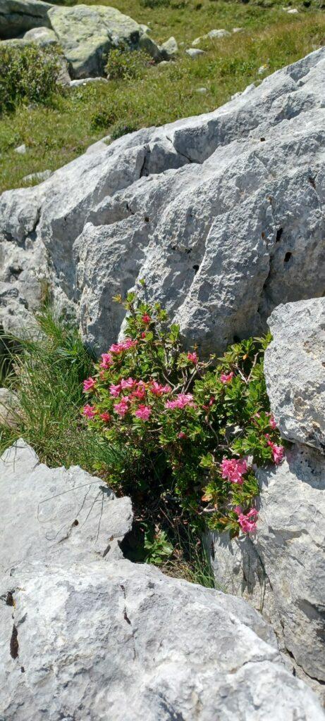 blühende Alpenrosen - 12.08.2021
