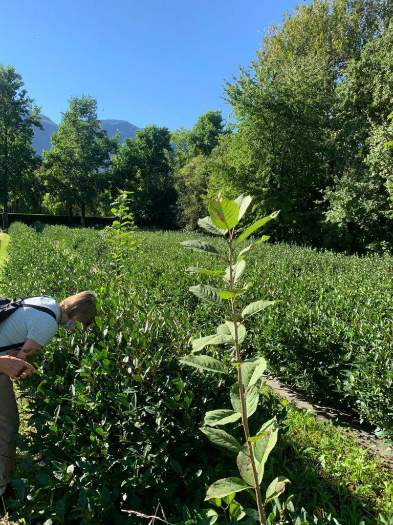 Grünteeanbau für den Digestivo Monte Verità -17.09.2021